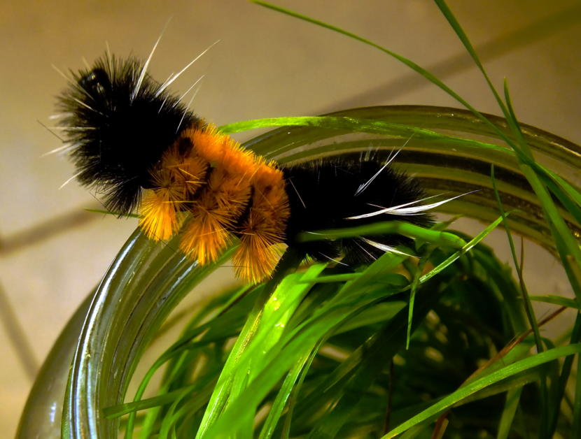 Woolly bear caterpillar tries to escape its glass prison located in a North Douglas kitchen in August 2019. (Photo by Matt Miller/KTOO)