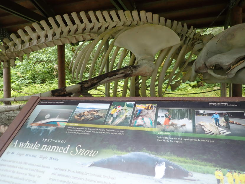 """The reconstructed 45-foot long skeleton of Whale #68 has been on display at the national park's visitor center at Bartlett Cove since 2014. The humpback had been well-known to park staff and visitors alike as """"Snow"""" before being killed by a Princes Cruise Lines ship in 2001. (Photo by Jacob Resneck/Coast Alaska)"""