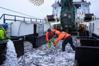 Crew members shovel pollock on the deck of a Bering Sea trawler last year. (Nathaniel Herz/Alaska's Energy Desk)