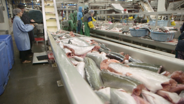 Workers processing fish at a salmon processing plant.