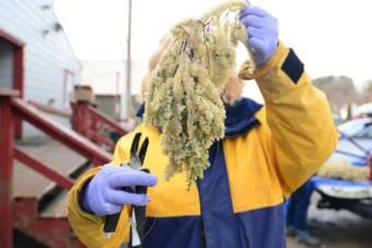 A person holding up herring eggs