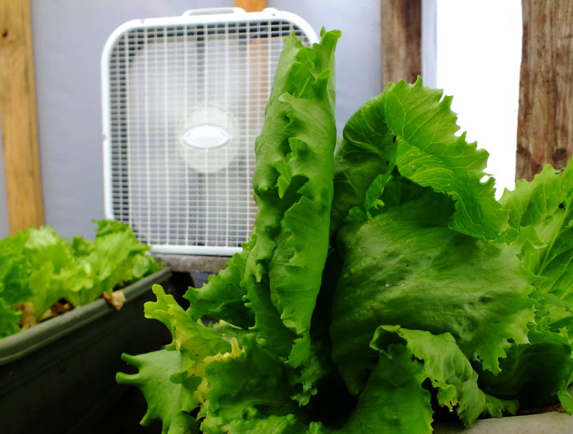 Lettuce fan