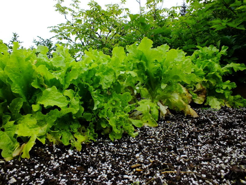 Yellowing lettuce