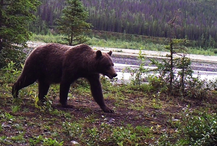 A grizzly bear roams through Nugget Creek in the Wrangell-St. Elias National Park. (Photo courtesy National Park Service)