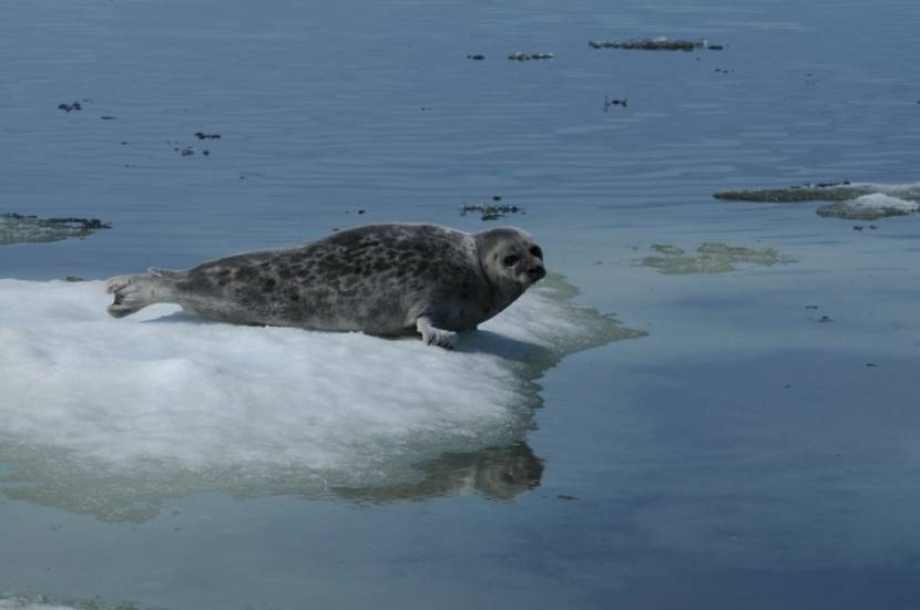 Ringed seal in Kotzebue Sound, Alaska