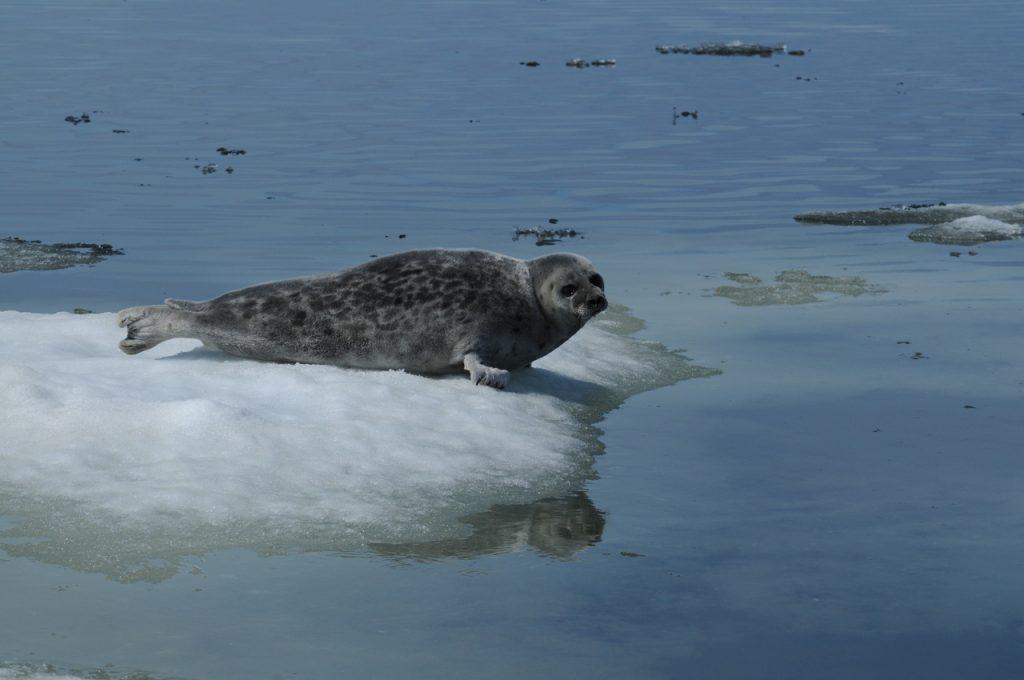 Ringed seal in Kotzebue Sound, Alaska