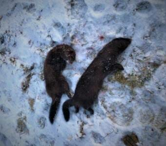 Two dead mink in the snow