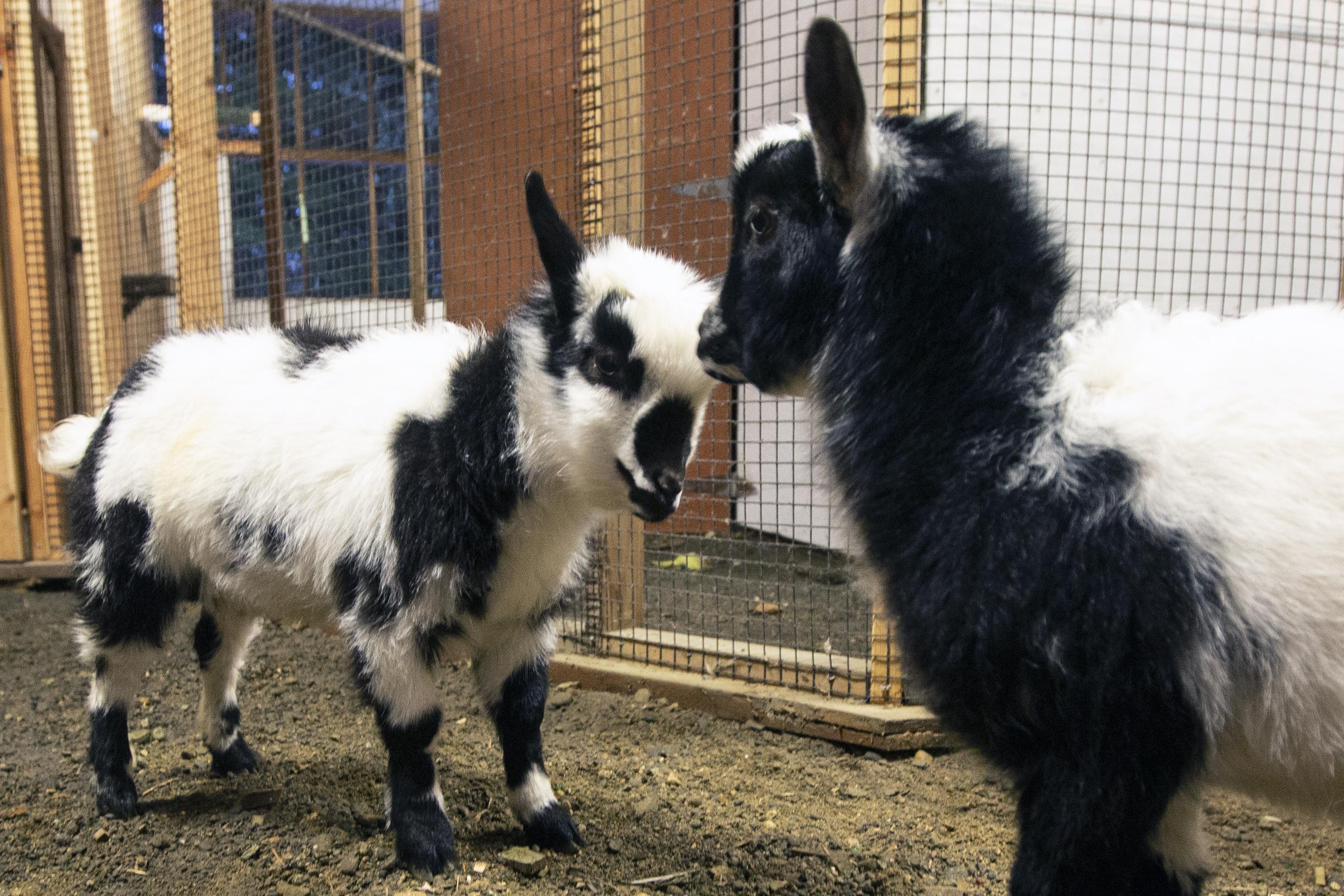 RM_Goats 2