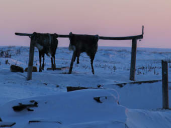 Two caribou hides hang on a wooden bar in an icy town
