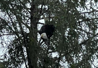 Stranded eagle