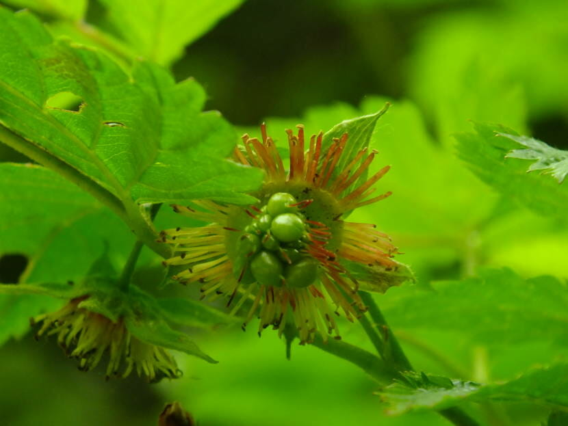 Slow raspberries