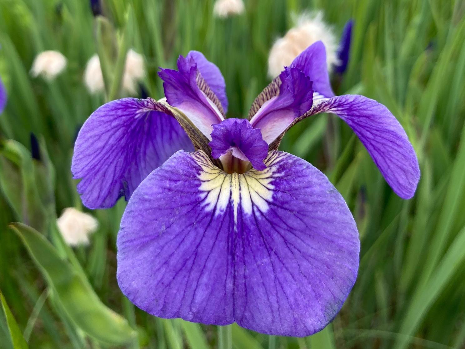 Wild Iris or Blue Flag