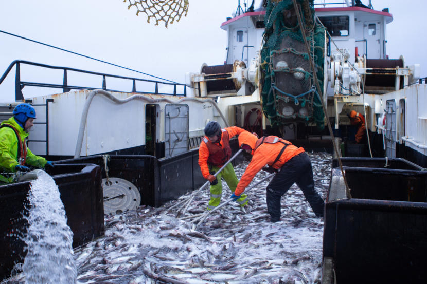 Crew members shovel pollock on the deck of the Commodore after a harvest on the Bering Sea in 2019. (Photo by Nat Herz / Alaska Public Media)