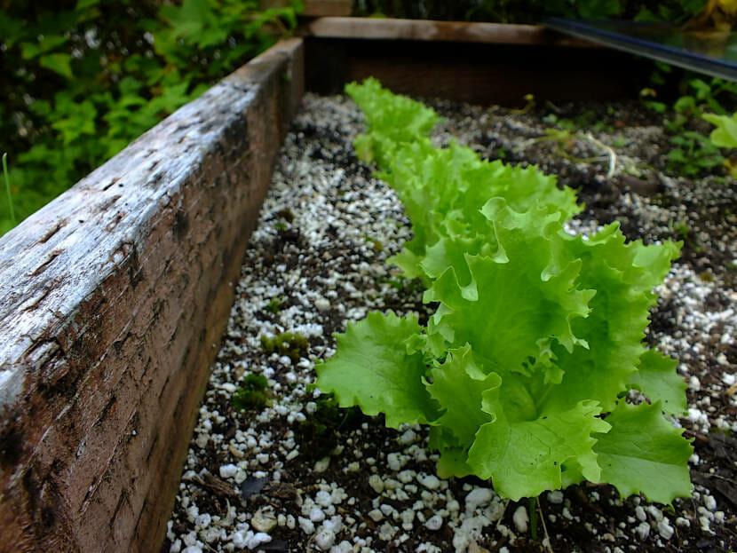 Late lettuce