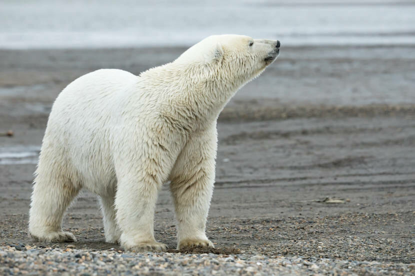 Threatened by melting sea ice, polar bears' status up for review under Endangered Species Act